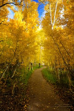 ~~The Golden Path | golden autumn aspens, June Lake, California | by Darvin Atkeson~~