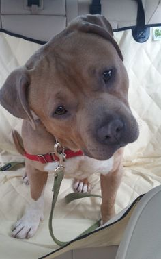 And this head tilt, one of the cutest in the galaxy. | 15 Super Squishable Pit Bulls Who Will Brighten Your Day