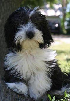 Moors Havanese Females Kleine Hunde Havaneser Und Havaneser Welpen