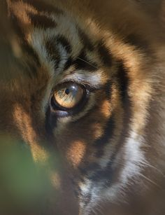 Eye of the Tiger by Satie Sharma on 500px