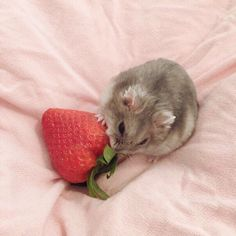 a cute hamster with a strawberry🍓 Hamster Pics, Baby Hamster, Hamster Care, Cute Little Animals, Cute Funny Animals, Funny Hamsters, Robo Dwarf Hamsters, Cute Rats, Cute Creatures