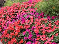 impatiens - I didn't plant these so much, but I think I should next year.  Esp. in shade. and anyway.