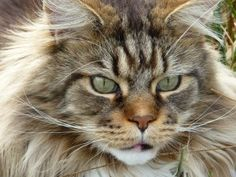 Maine Coon Social With Other Cats Explore our guide to cats, kittens and their habitats. Learn about over a hundred different cat breeds and how to deal with Chat Maine Coon, Maine Coon Kittens, Gato Maine, Big Cats, Cool Cats, Cats And Kittens, Shih Tzu, Largest Domestic Cat, Animals And Pets