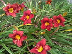 Here's some unknown daylily's growing along the stairs in front of my house.