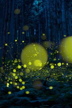 Lights. Luciola parvula, Hirosima, Japan.