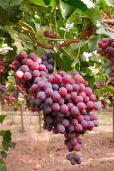 Fresh Delicious Grapes ,,,