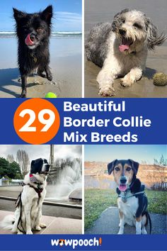 29 Beautiful #Border #Collie #Mixes – Find the Perfect #Border #Collie #Mix. Border Collie Dalmatian Mix, Pet Shed, Hunter Dog, Dog Crossbreeds, Wild Animals Pictures, Border Collie Mix, Dog Mixes, Companion Dog, Bull Terrier Mix