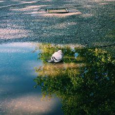 #pigeoninapuddle