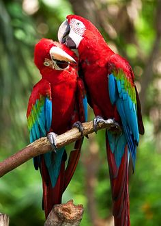 Did you know scarlet macaws mate for life? How sweet is that? Learn more: 22 Scarlet Macaw Facts: Guide to the Beautiful Ara macao Tropical Birds, Exotic Birds, Colorful Birds, Exotic Pets, Most Beautiful Birds, Animals Beautiful, Cute Animals, Cute Animal Photos, Bird Pictures
