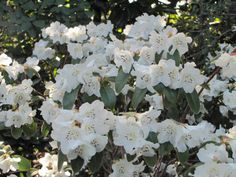 Rhododendron 'Snow Lady' earliest flowering, in late January/ early February on the west coast. Completely covered in white blooms for weeks
