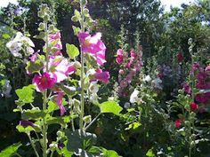Hollyhocks (I treat them as biennials).