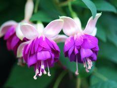 Violetkoningin