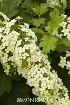 Snowflake Oakleaf Hydrangea.  These actually can thrive with less water than the normal mophead hydrangeas.  They do well in a natural woodland garden type landscape.
