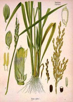 Rice (Oryza sativa), via Mike Licht's flickr