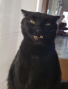 Pickles at the end of a sneeze Crazy Cat Lady, Crazy Cats, I Love Cats, Cool Cats, Black Kittens, Cats And Kittens, Beautiful Cats, Pretty Cats, Cat Sneezing