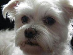 My beautiful girl..Kiki - maltezer - maltese