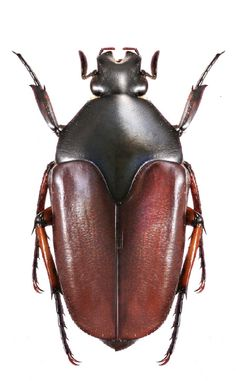 Lomaptera albertisi