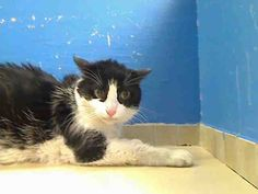 12 year old Treasure needs out of NYCACC NOW!!! TO BE DESTROYED 6/13/13 Manhattan Center  My name is TRESURE. My Animal ID # is A0967800. I am a spayed female white and black domestic sh mix. The shelter thinks I am about 12 YEARS old.  I came in the shelter as a STRAY on 06/07/2013 from NY 10032, owner surrender reason stated was STRAY.