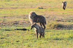 La iena - le iene #learnitalian #italianonline #animali