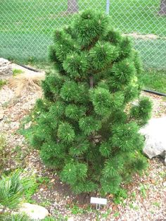 Pinus mugo 'Dolly's Choice' Landscaping Plants, Conifer Plants, Evergreen Plants, Plants, Garden Trees, Conifers Garden, Foliage Plants, Trees To Plant, Evergreen Garden
