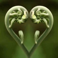 Fiddlehead ferns!    Debi Worcester onto beautiful things, places and spaces
