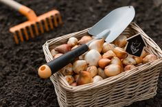 There are many bulbs that grow in zone 9 that can stand a bit of cold and bloom in a hot summer. Many of the common zone 9 bulbs are old favorites in the region and reflect a time gone by when life was slow and simple. Learn more in this article. Garden Bulbs, Planting Bulbs, Garden Plants, Planting Flowers, Spring Flowering Bulbs, Spring Bulbs, Most Beautiful Gardens, Beautiful Flowers Garden, Begonia