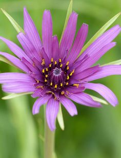 ~~Salsify (tragopogon porrifolius) by celerycelery~~