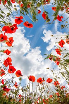 Poppies with clouds