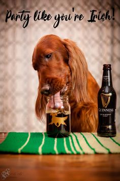 Beautiful Dog and excellent beer Setter Puppies, Irish Setter Dogs, Funny Animal Memes, Funny Dogs, Cute Dogs And Puppies, Doggies, Best Friends Forever, Cocker Spaniel, Dog Photos