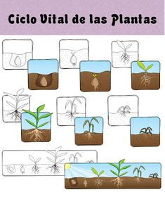 Menta Más Chocolate - RECURSOS y ACTIVIDADES PARA EDUCACIÓN INFANTIL: Plantas: Ciclo Vital