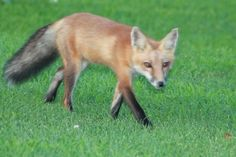 FOX taking a stroll on Long Island Golf Course. Ahh! One just like this, and not shy either, is in my YARD! 5/1 & 5/2/15!!