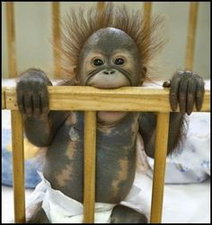 12 Cutest Baby Orangutan Photos