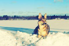 husky + snow + sun = perfect enjoyment