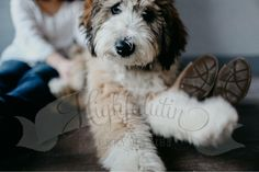 Teddy Bear!   Sable Bernedoodle Puppy bred here at Highfalutin Furry Babies    Check out our site  www.highfalutinfurrybabies.com