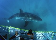 Great White Shark - Cage View 4   ©Geoff Spiby/ Cape Photo L…   Flickr