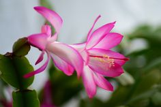 Cacto De Natal, Easter Cactus, Casa Cactus