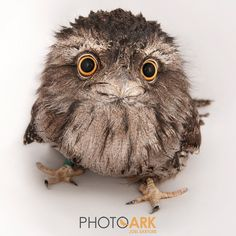 how to make friends with tawny frogmouth
