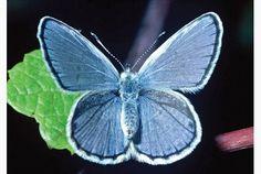 karner_bluebutterfly.jpeg.size.xxlarge.letterbox.jpeg (545×365)
