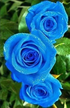 ~Beautiful Blue Rose's~
