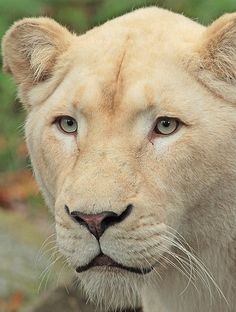 White African Lion (Panthera leo leo) Beautiful Creatures, Animals Beautiful, Cute Animals, Lion Love, Cat Love, African Cats, Lion And Lioness, Beautiful Lion, Paws And Claws