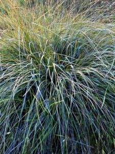 Pennisetum Spathiolatum A Less Invasive Alternative To
