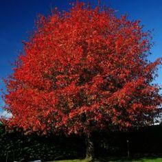 Shumard Red Oak in fall. Beautiful, God!