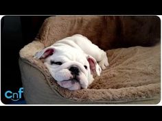 English Bulldog Puppy Makes Her Own Fun! Cuteness Overload!!!! - Page 2 of 2 - PawBuzz