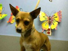 ★★AT RISK FOR EUTHANASIA★★  PER SHELTER, NEEDS AN ADOPTER OR RESCUE COMMITMENT BY DEC 7TH  #A443197 (Moreno Valley, CA)  male, tan and white Chihuahua - Smooth Coated mix. The shelter thinks I am about 2 years.  I have been at the shelter since Nov 26, 2014 and I may be available for adoption on Dec 05, 2014 at 11:34AM.  http://www.petharbor.com/pet.asp?uaid=MRVL.A443197…