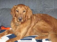 This is Cody - 2 yrs. He is an owner surrender due to lack of time. Cody was crated for long periods of time and was hurting himself trying to get out. He is neutered, current on vaccinations, potty trained, rides well in a car, knows some commands & needs leash work. He gets along with other dogs & kids over age 8, he has not been cat tested. He is looking for a forever home where someone is home most of the time. He is at Golden Retriever Rescue of Michigan.