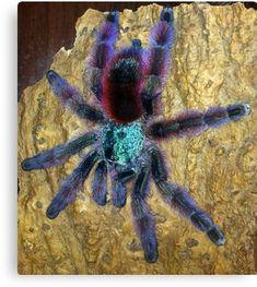 'Martinique Pinktoe Tarantula' Canvas Print by Nammu Tarantula Habitat, Tarantula Enclosure, Pet Tarantula, Jumping Spider, Beautiful Bugs, Baby Tattoos, Baboon, Weird Creatures, Reptiles And Amphibians