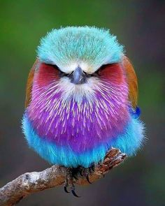 A colorful bird called the Lilac-breasted roller Fast Crazy Nature Deals. Colorful Animals, Colorful Birds, Cute Animals, Nature Animals, Crazy Animals, Exotic Animals, Tropical Birds, Animals Images, Cute Birds