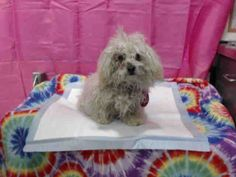 RESCUE ONLY-ID#A596014  My name is RESCUE ONLY.  I am a female, white Poodle - Miniature mix.  My age is unknown.  I have been at the shelter since Jun 01, 2014.  call: San Bernardino County - Devore Shelter at (909) 386-9820 Ask for information about animal ID number A596014