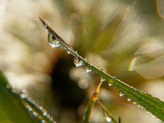 Dandelion Drops by Misty Dawn Seidel (Misty DawnS Photography) Misty Dawn, Sounds Like, Dandelion, Drop, Photography, Photograph, Dandelions, Fotografie, Photoshoot