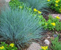 Thriving in growing zones 4-9, Blue Festuca grass is sure to stand out in any landscape! It's unique silver-blue-green foliage pairs well with evergreen plants and keeps its color all year long.